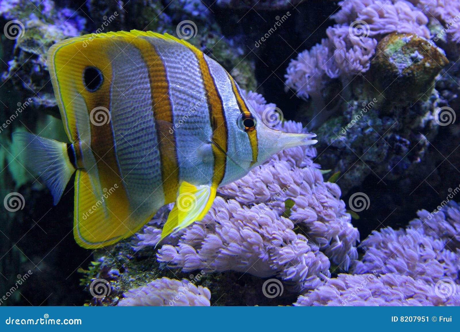 Chelmon tropicale dei pesci