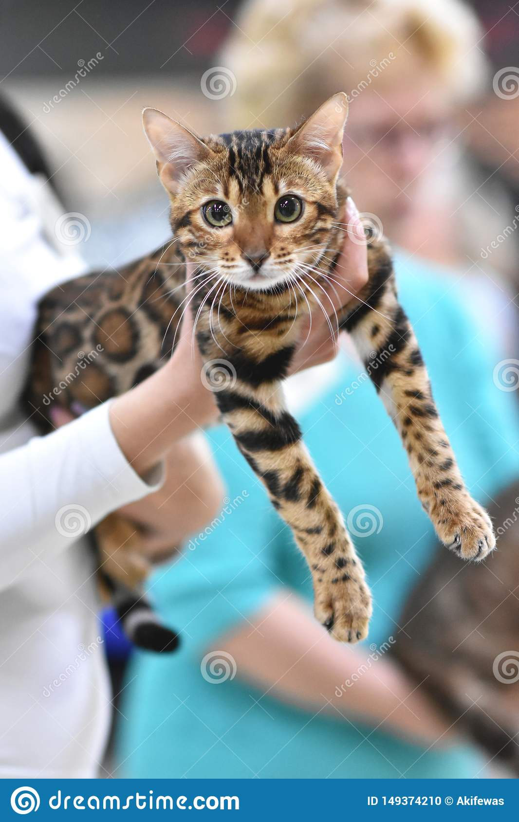 Chelyabinsk, Russian Federation - 08 September 2018. Bengal cat brown spotted tabby color in the exhibition of cats
