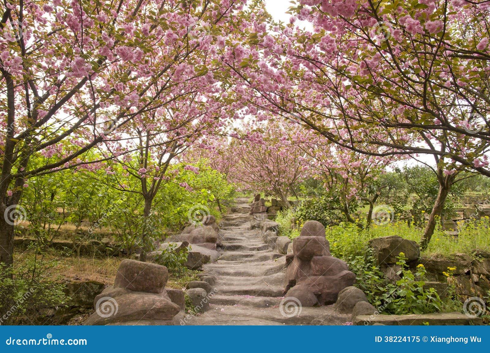 chemin avec des fleurs de cerisier photo libre de droits - image