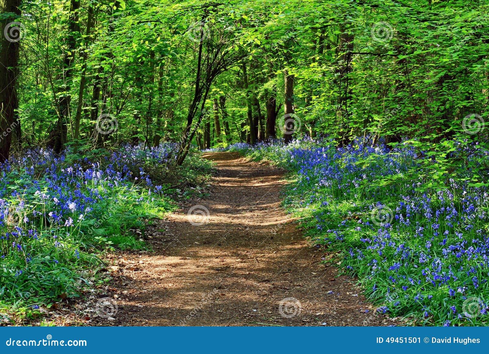 Chemin de saleté de soleil à travers le non-scripta en bois de Hyacinthoides de jacinthe des bois de Badby