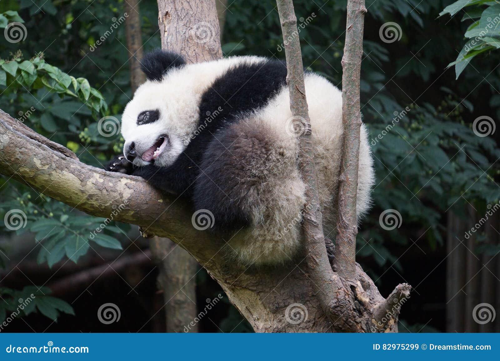 Chengdu badania baza Gigantycznej pandy hodowla