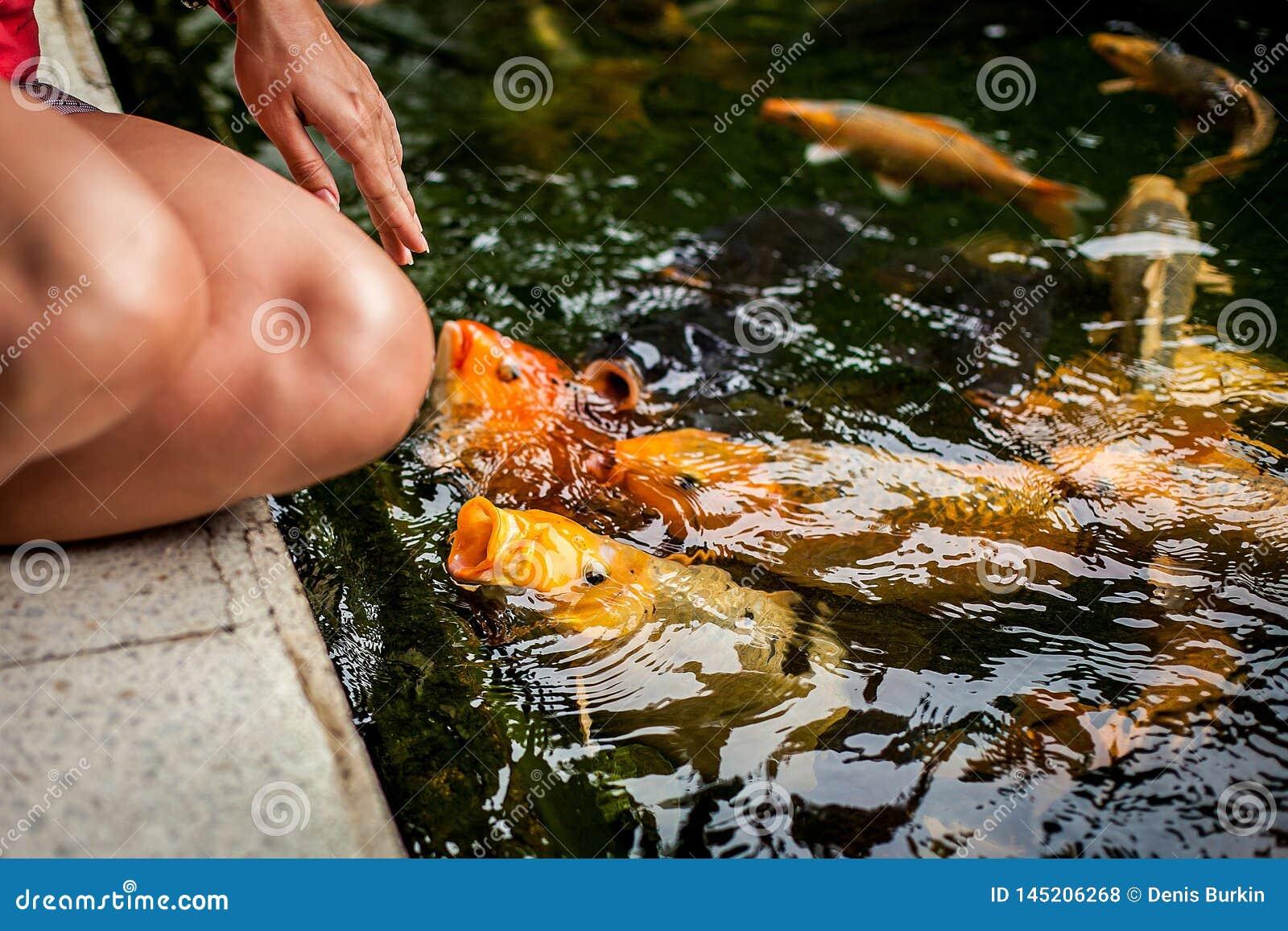 Chengdu, China: voer vissen Koivissen in vijver in de tuin Kleurrijke decoratieve vissenvlotter in een kunstmatige vijver