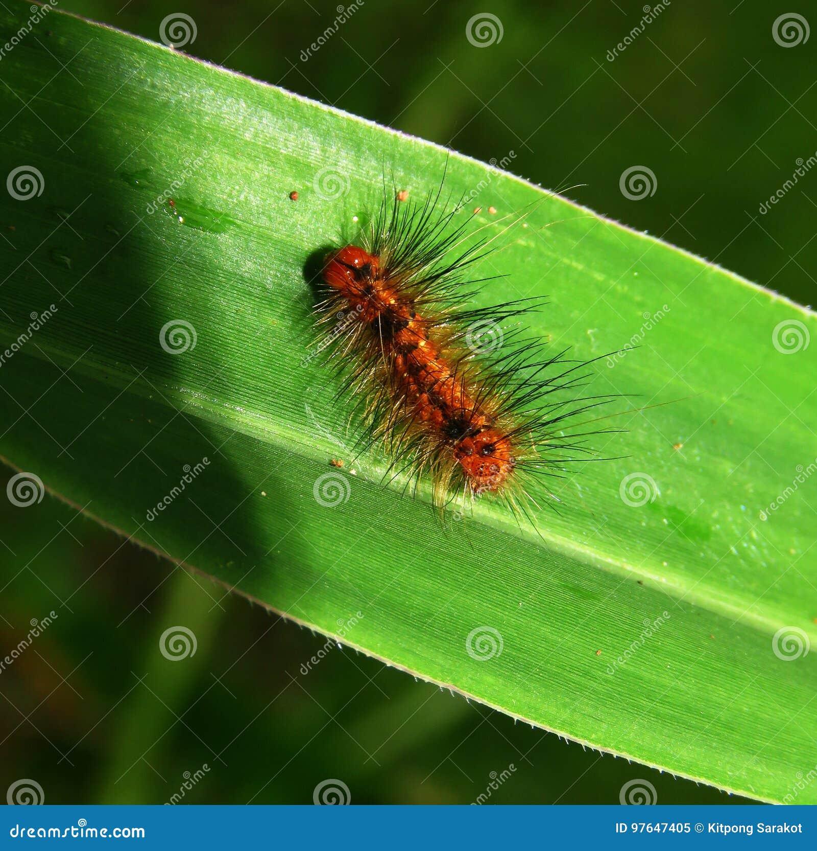 Chenille Caterpillar Papillon chenille de papillon en nature image stock - image du caterpillar