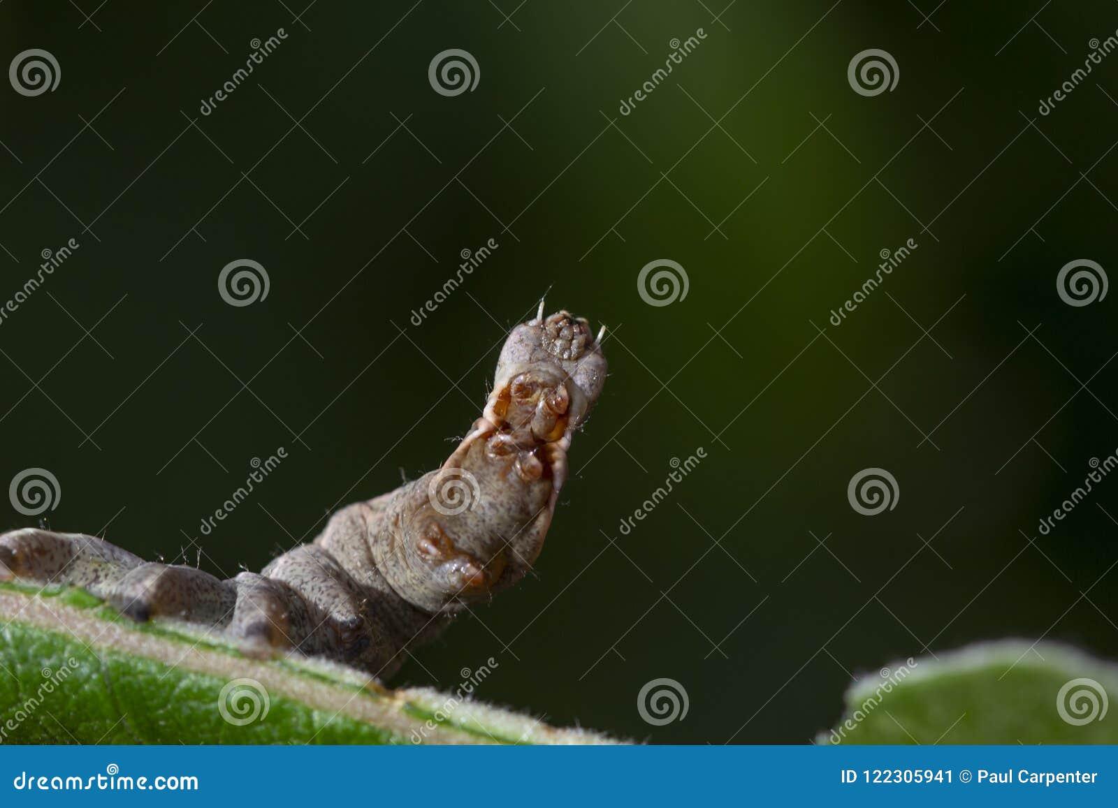 Chenille importante de mite de caillou, ziczac de Notodonta, marchant, mangeant le long d une feuille de saule pendant juillet