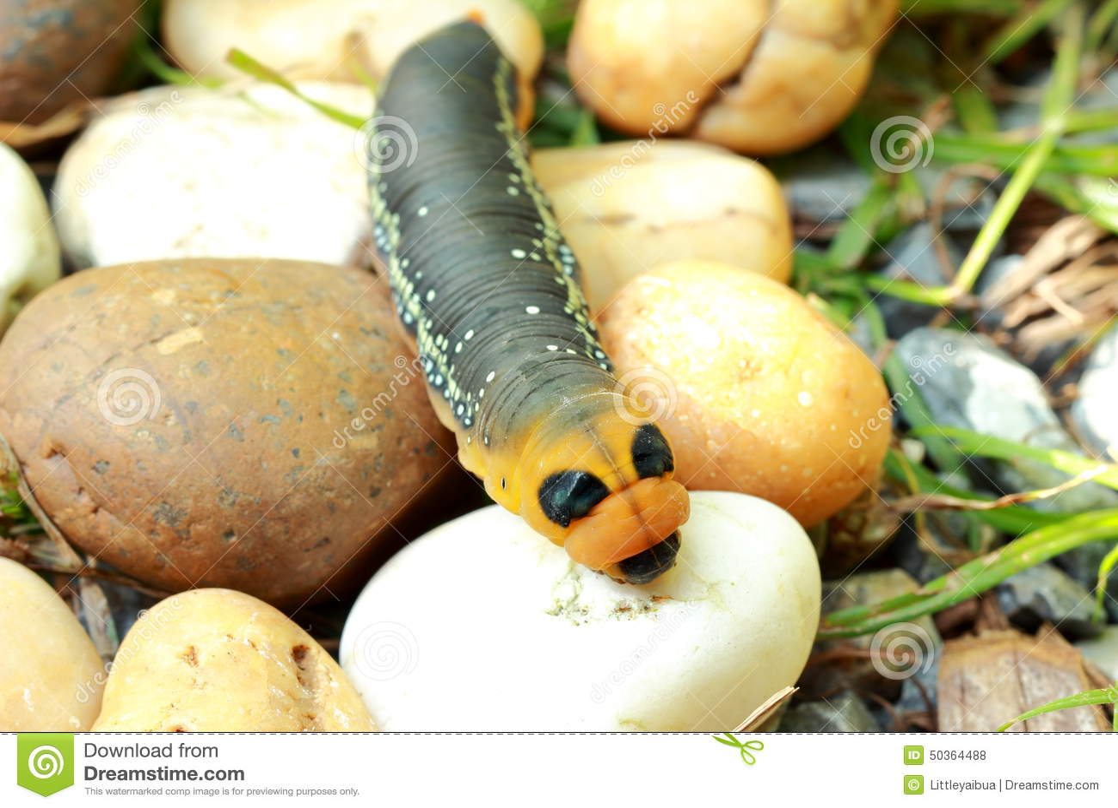 Chenille jaune et noire dans le jardin photo stock image 50364488 - Chenille jaune et noire danger ...