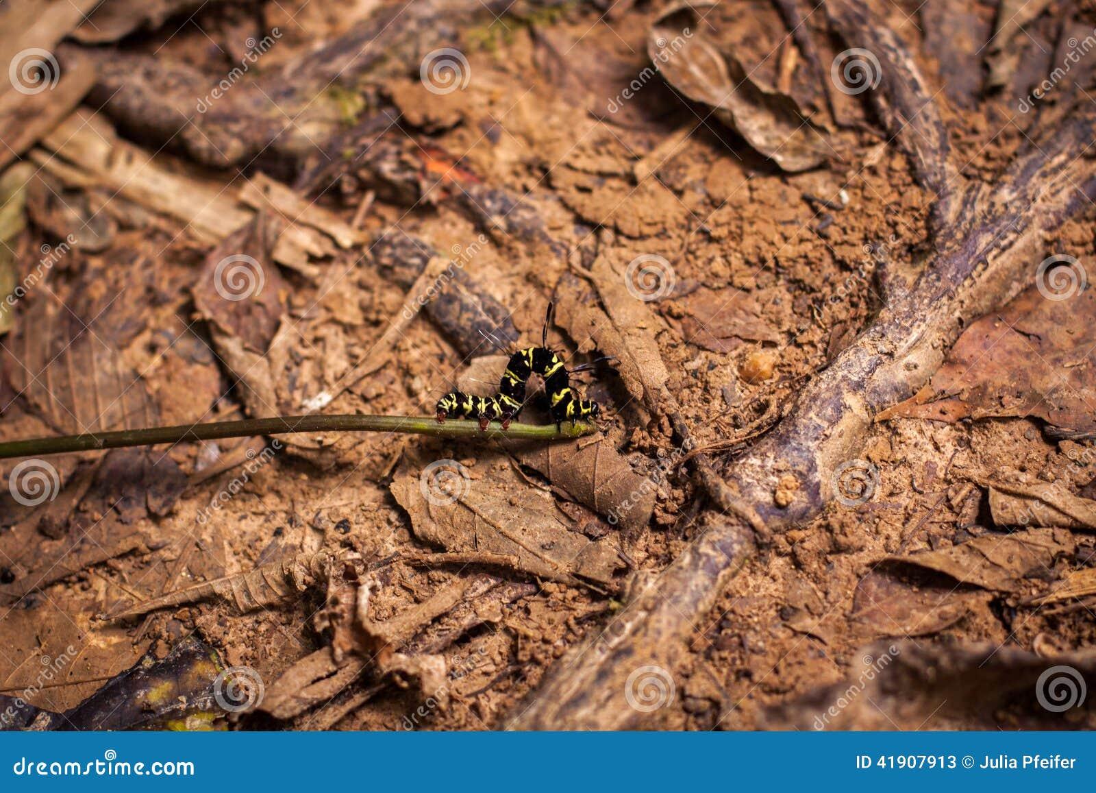 Chenille jaune et noire ray e photo stock image 41907913 - Chenille verte et noire ...