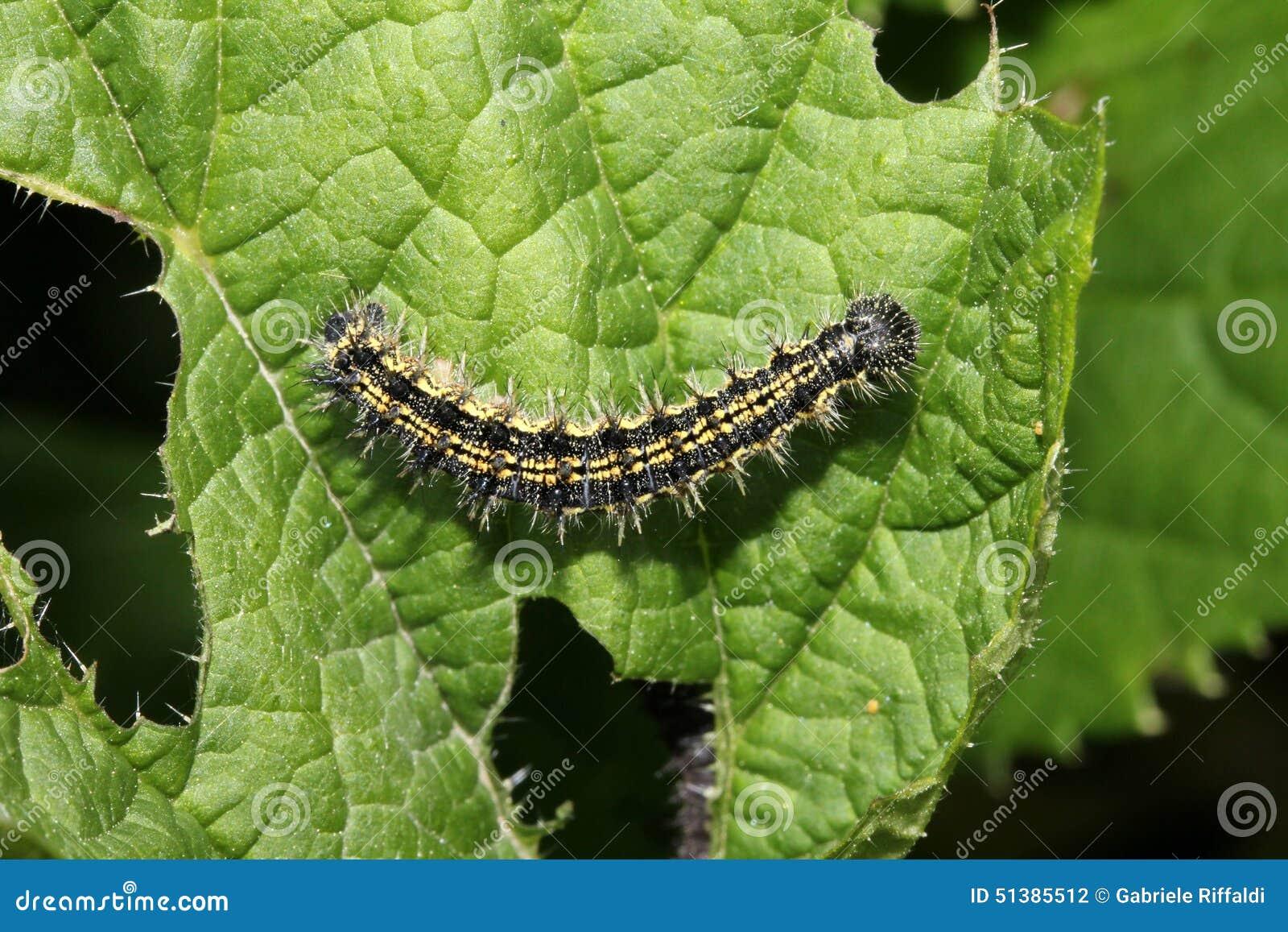 Chenille jaune et noire urticae de vanessa photo stock image 51385512 - Chenille verte et noire ...