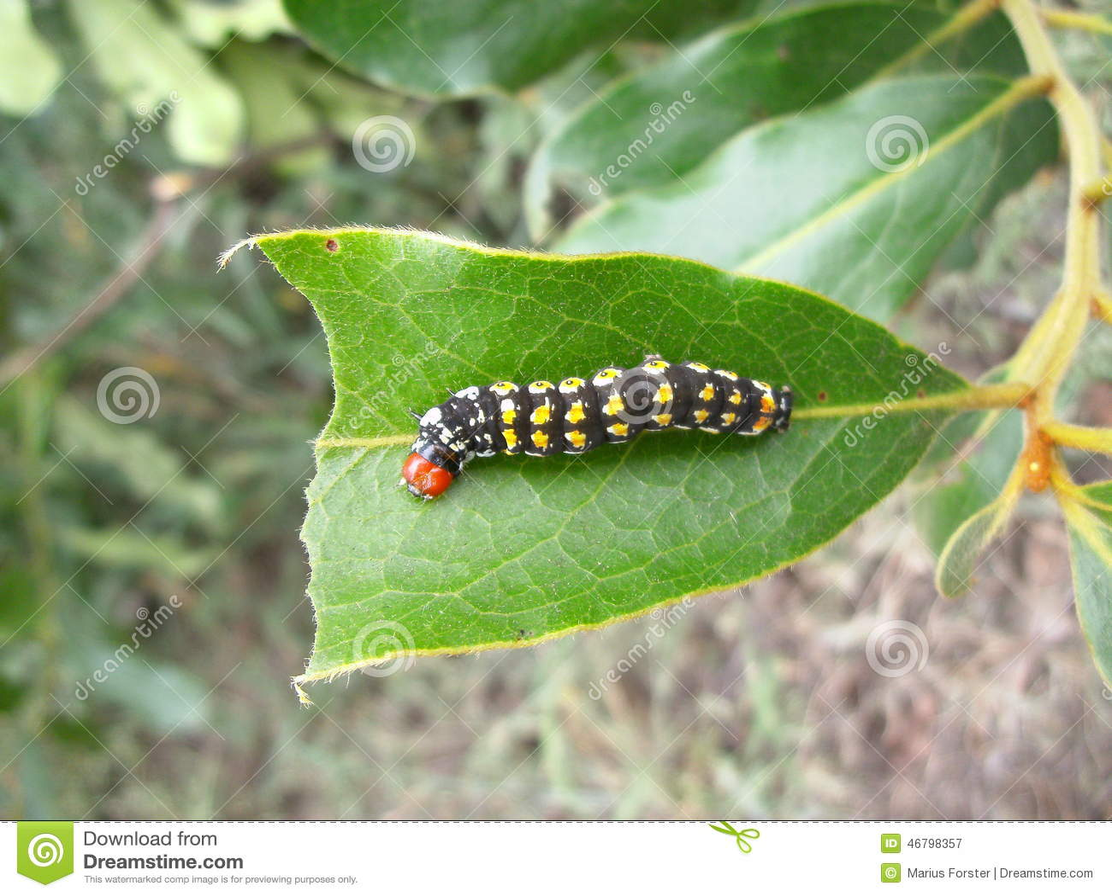 Chenille noire avec les taches jaunes et t te rouge sur la feuille au souaziland image stock - Chenille verte et noire ...