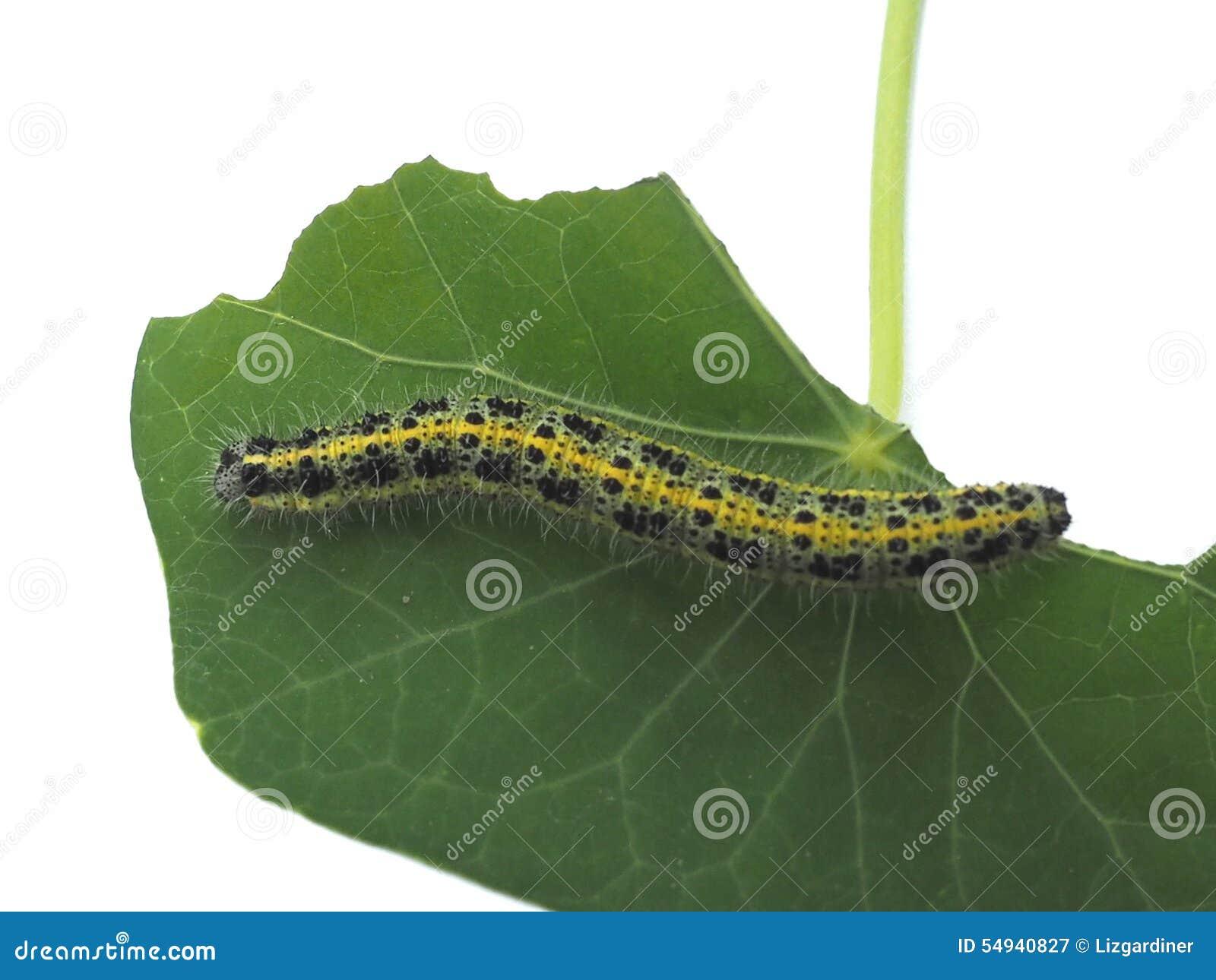 Chenille velue jaune noire et verte consommation de la feuille photo stock image 54940827 - Chenille verte et noire ...