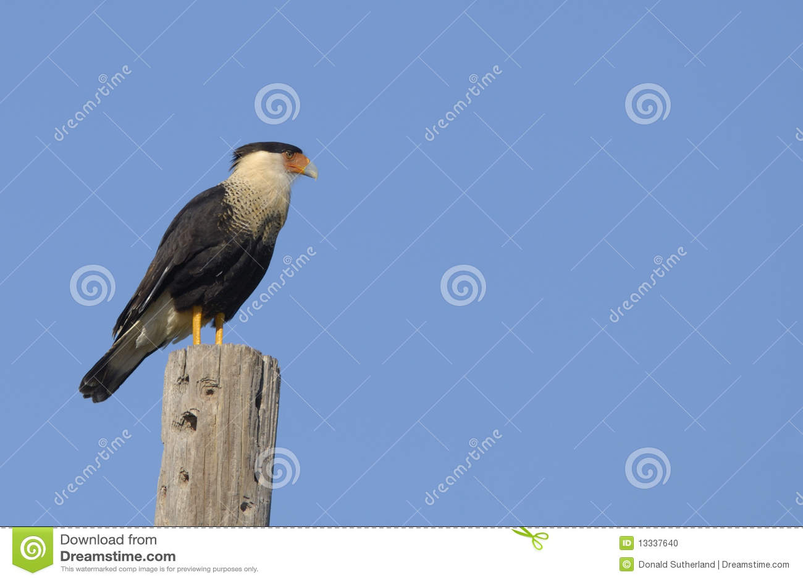 Cheriway的长腿兀鹰