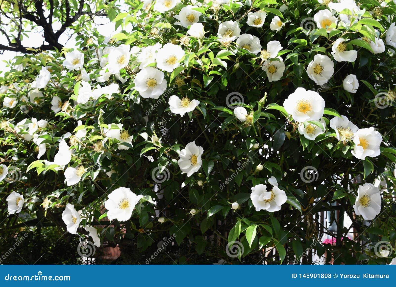 Cherokee rosa blopssoms