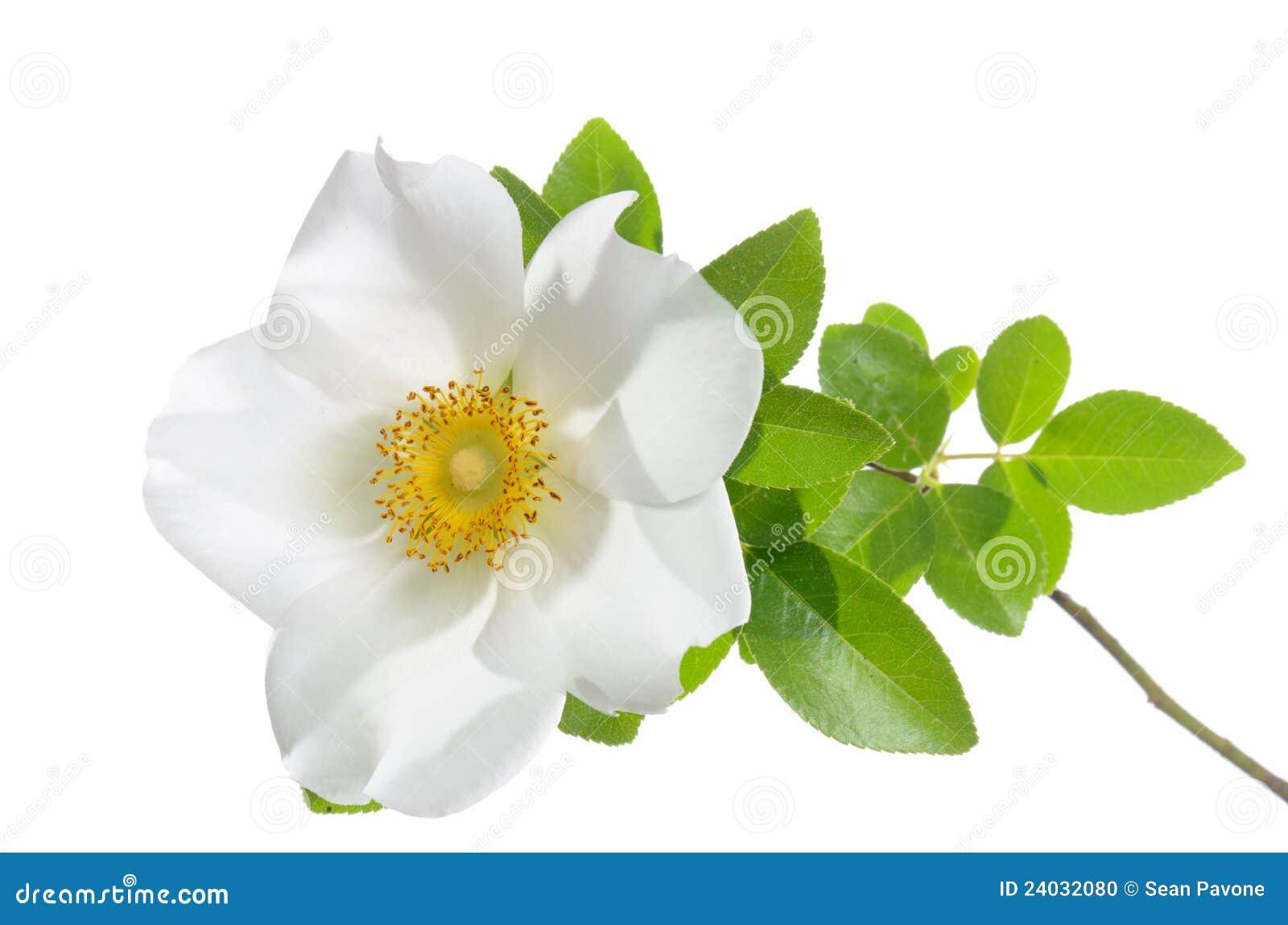 Cherokee rose flower stock photo image of flowers bloom for Cherokee rose