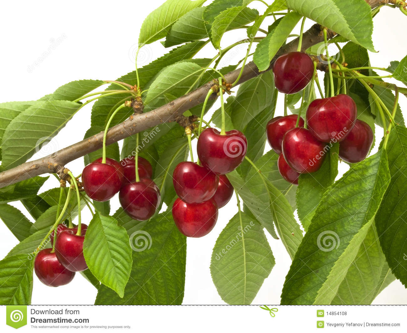 Cherries on the branch of a large