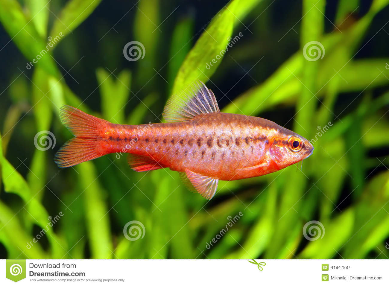 Cherry barb stock photo image 41847887 for Cherry barb fish