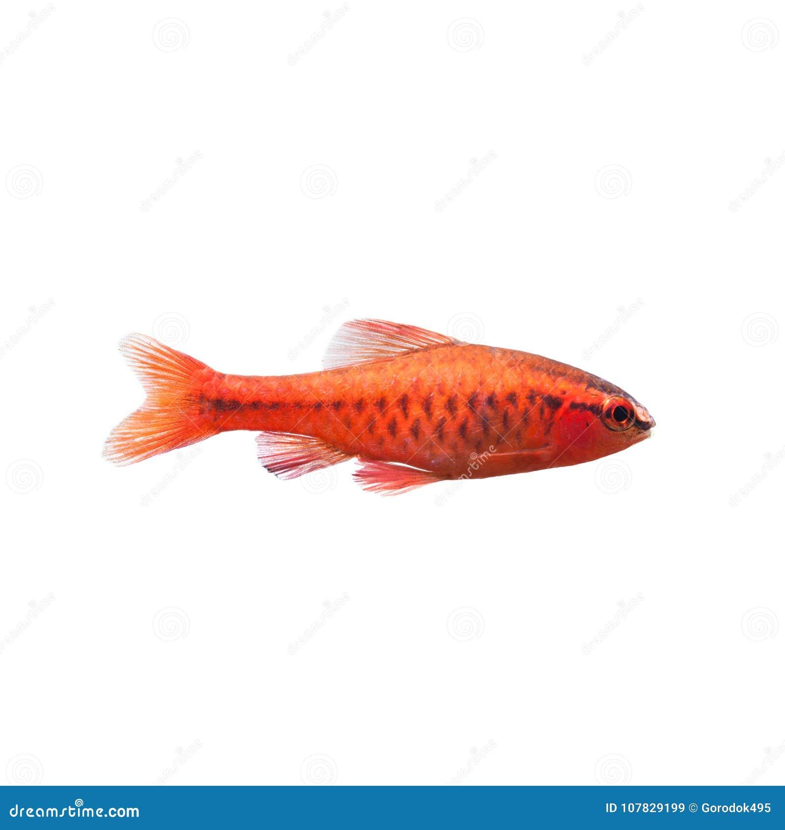 Cherry Barb Male Fish On White. Tropical Freshwater Aquarium Puntius ...