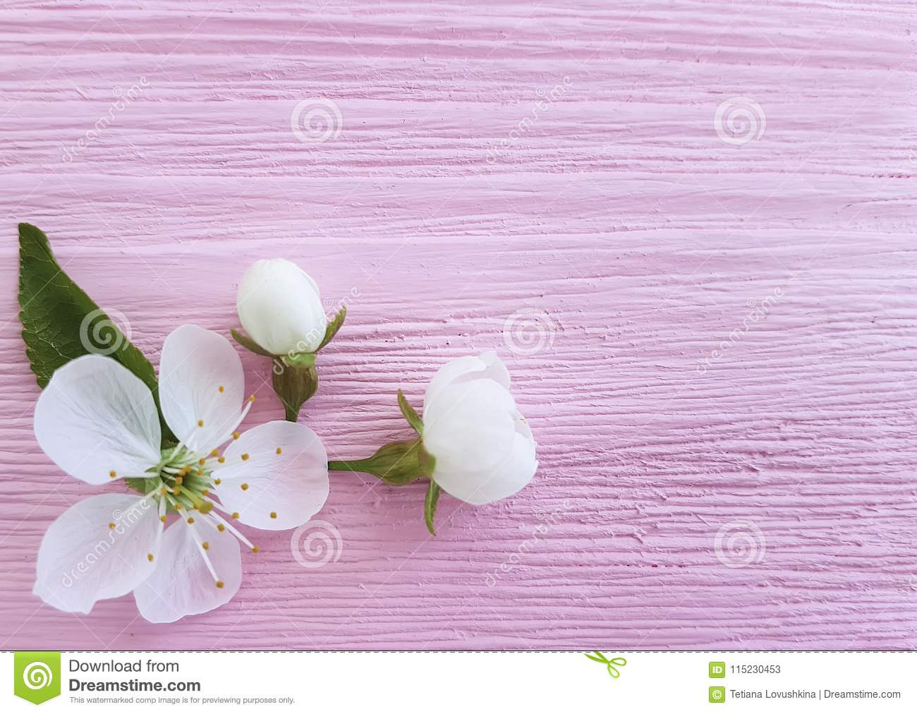 Cherry beauty blossom fresh design on a pink wooden background, spring