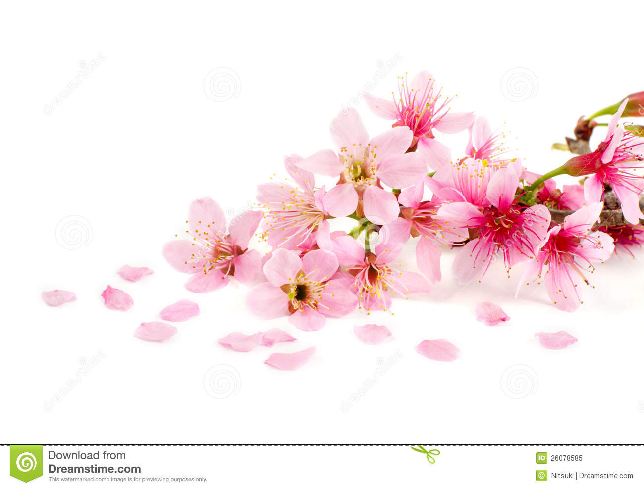 Cherry Blossom Royalty Free Stock Photo Image 26078585