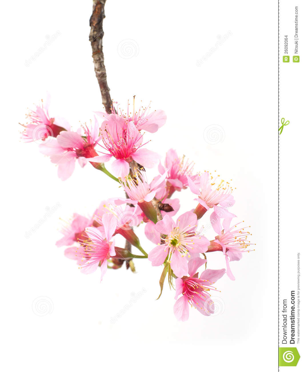 Beautiful pink flowers in the garden stock photography image - Cherry Blossom Stock Images Image 26092064