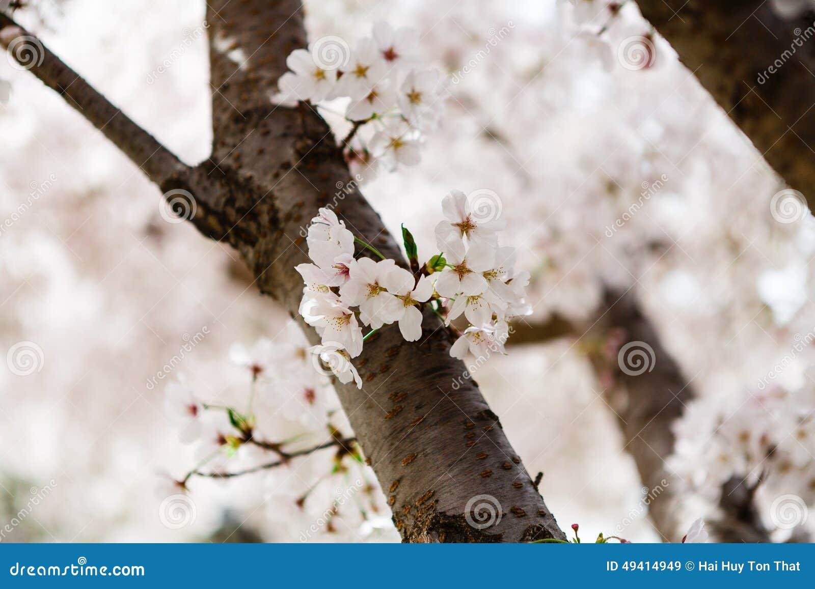Download Cherry Blossom stockbild. Bild von kirsche, empfindlich - 49414949
