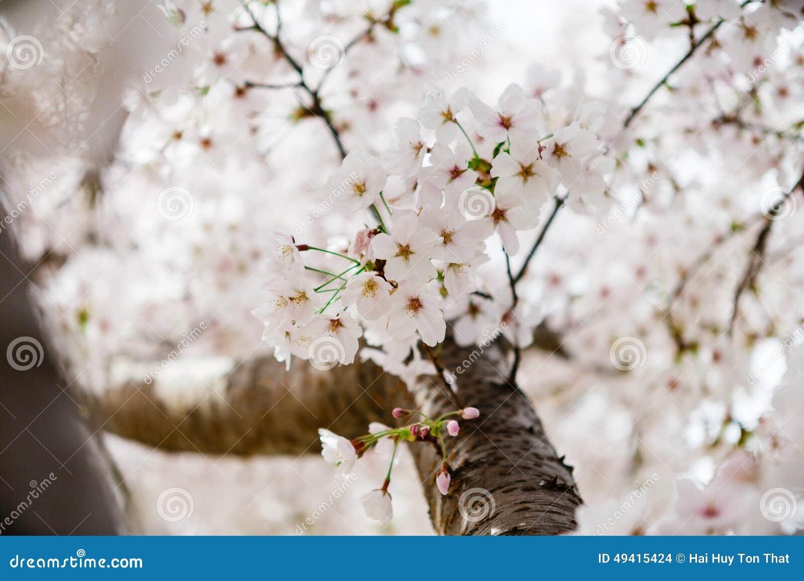 Download Cherry Blossom stockfoto. Bild von botanik, empfindlich - 49415424