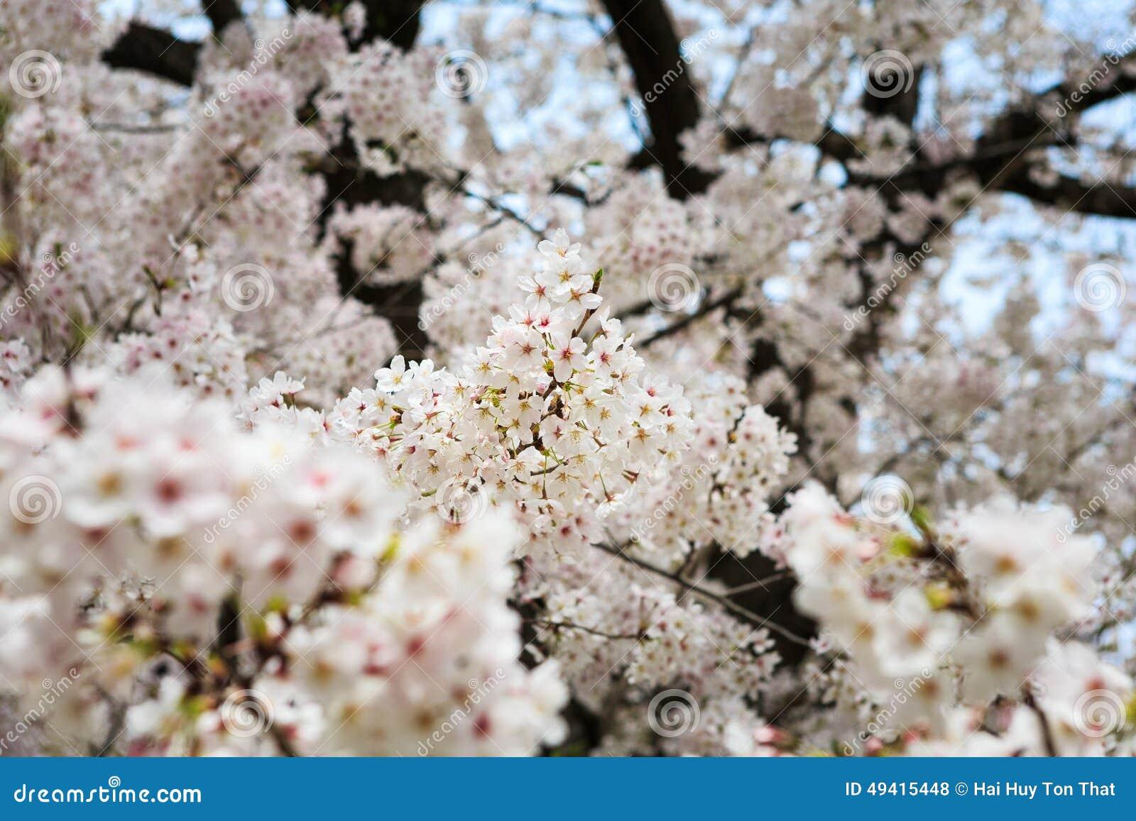 Download Cherry Blossom stockfoto. Bild von botanisch, ruhe, kirsche - 49415448