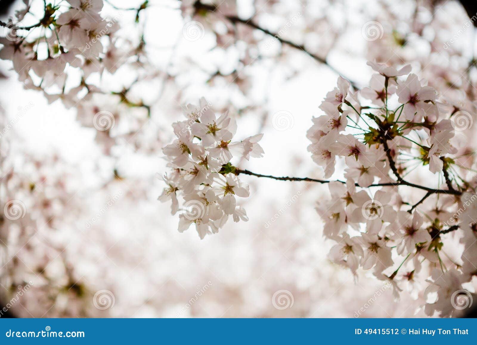 Download Cherry Blossom stockfoto. Bild von bündel, april, botanisch - 49415512