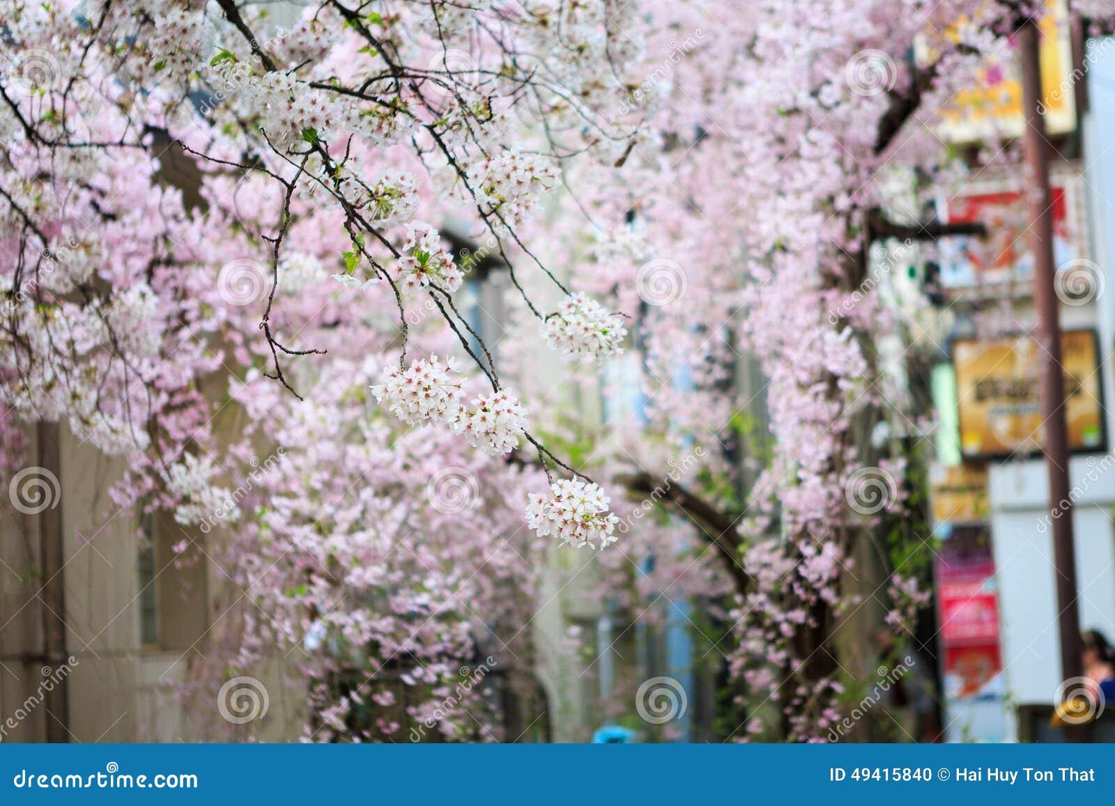 Download Cherry Blossom stockfoto. Bild von sonderkommando, blüte - 49415840
