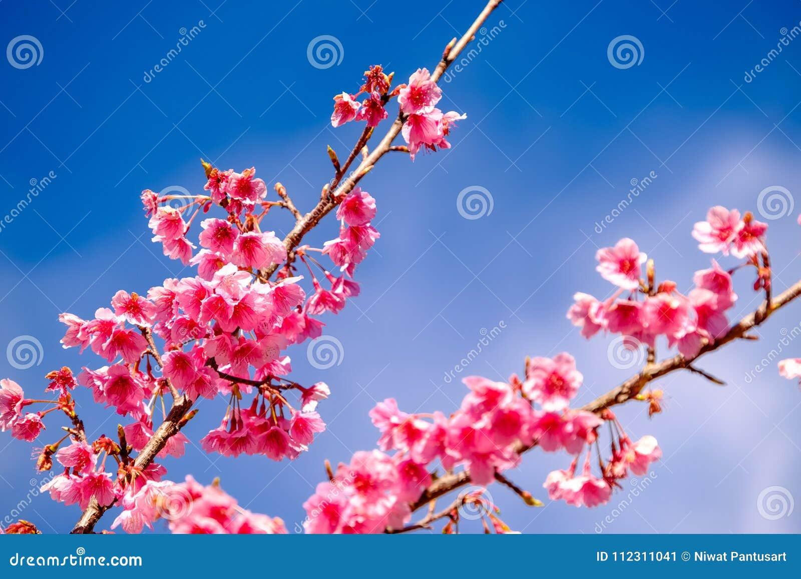 Cherry Blossom Against Blue Sky rosado