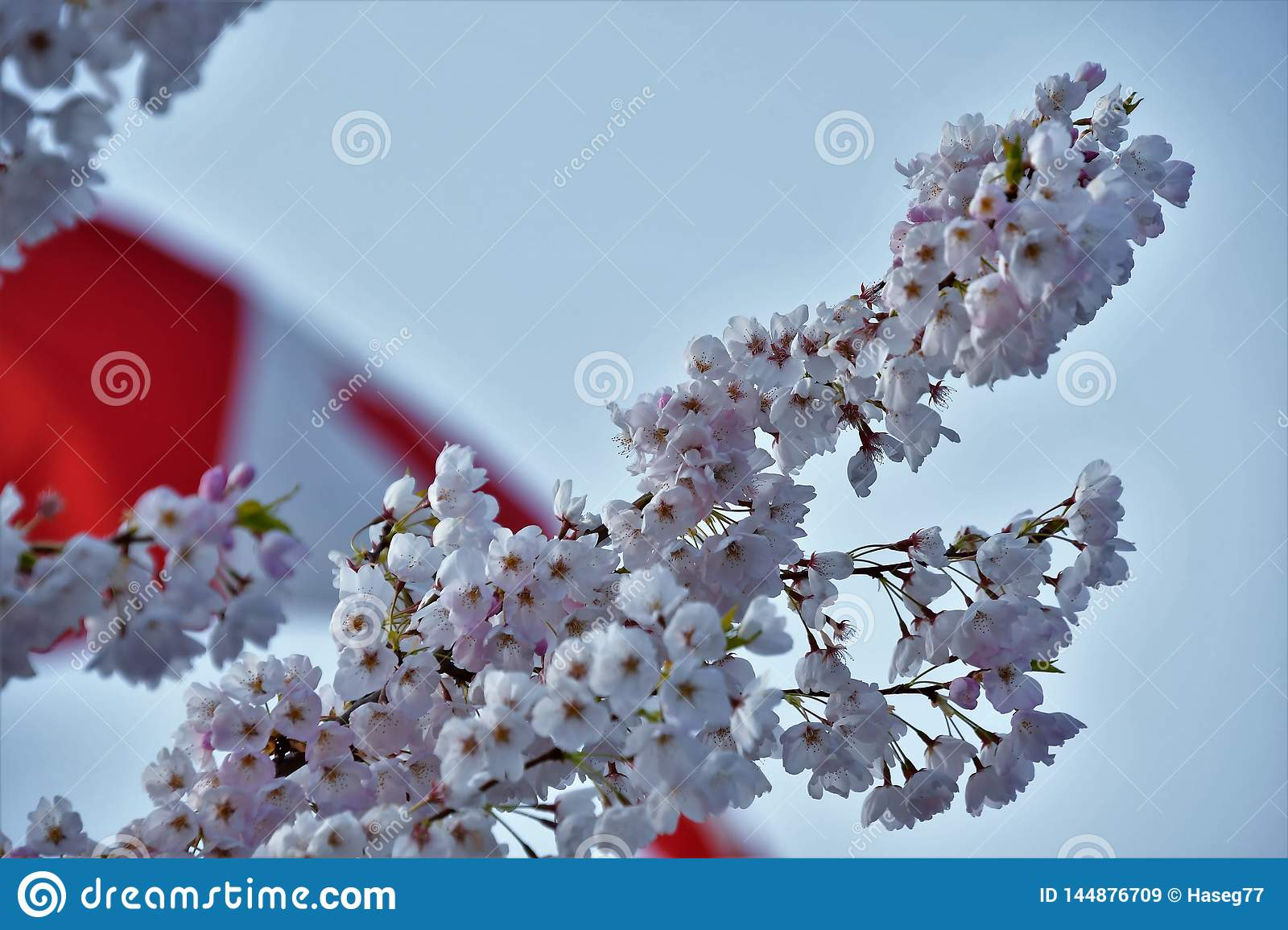 The cherry blossom against the Canada flag.