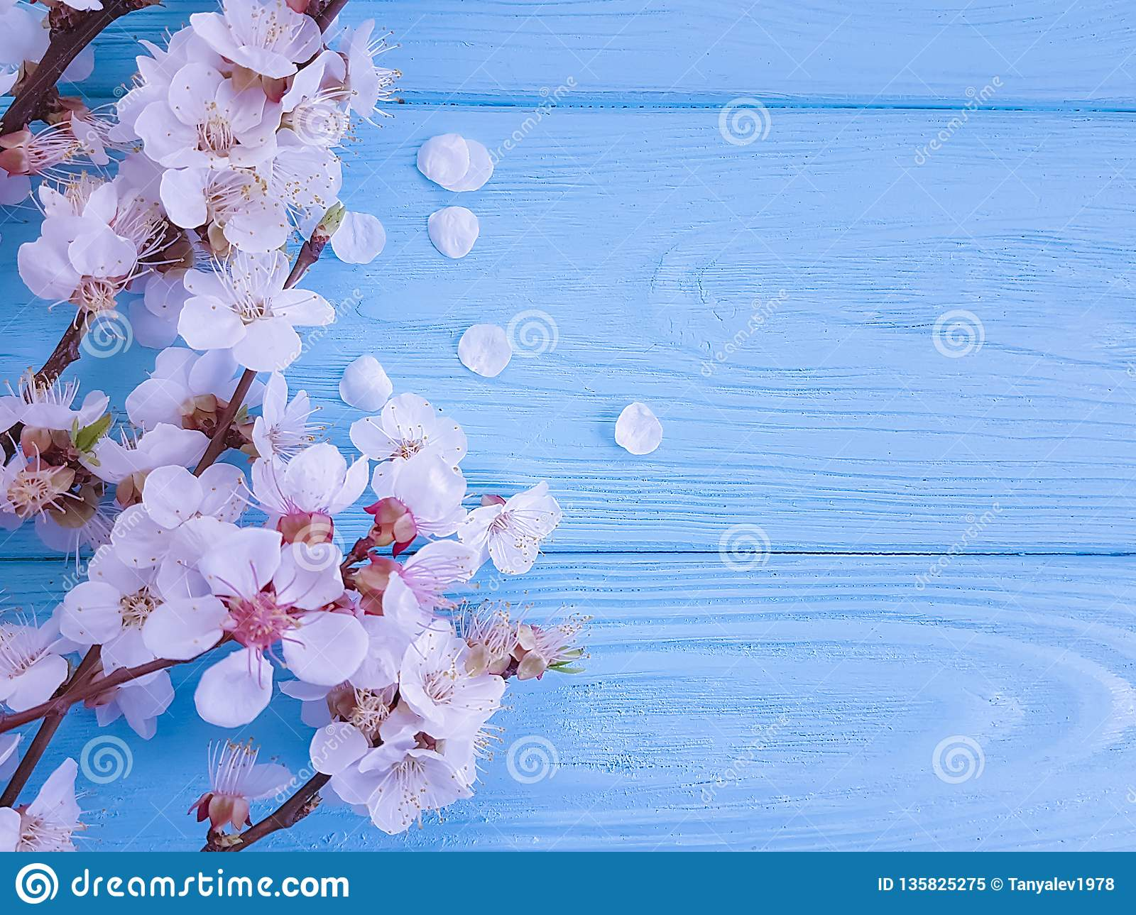 Cherry beautiful blossom may celebration branch springtime on blue wooden background
