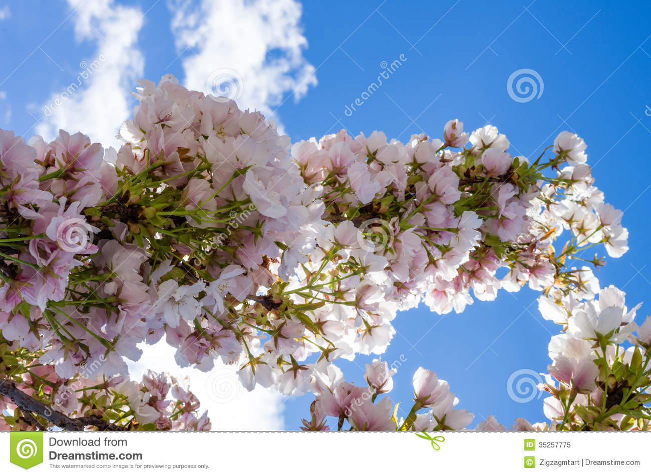 Cherry Blossom Branch Against Blue Sky Royalty Free Stock ...