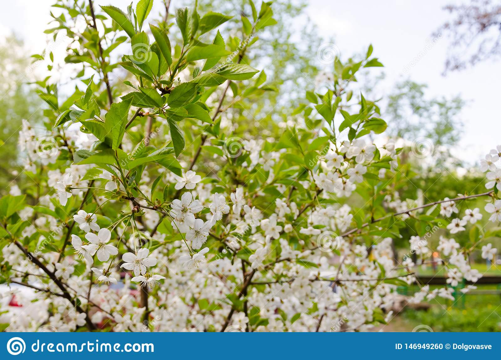 Cherry blossom branches with green leaves closeup