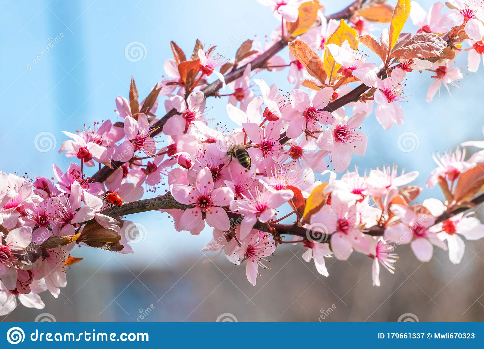 Cherry Blossom Branch Of Japanese Cherry With Pink Flowers In Sunny Day On Blue Sky Background Stock Image Image Of Plant Branch 179661337