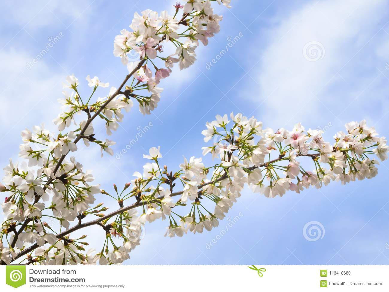 Cherry Blossom Branches In The Clouds Stock Photo Image Of Fluffy