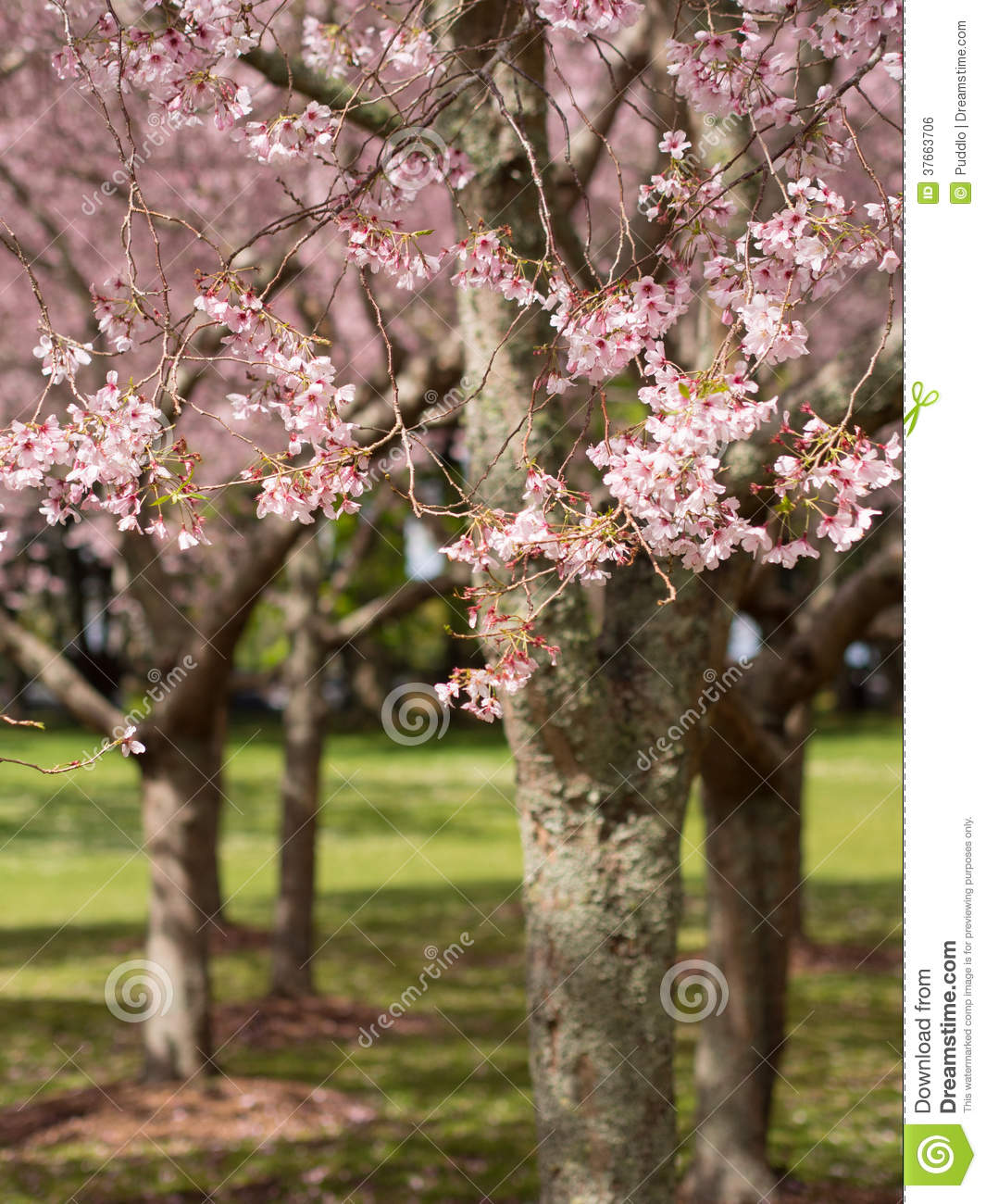cherry tree nz reviews cherry blossom cornwall park auckland new zealand stock photo image of scenic blossom