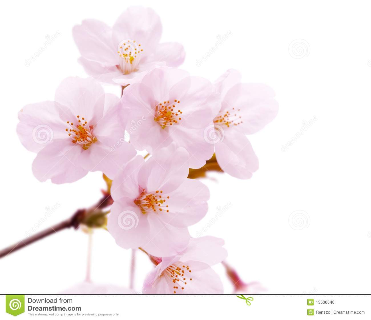Cherry Blossom Flower Isolated Stock Photo