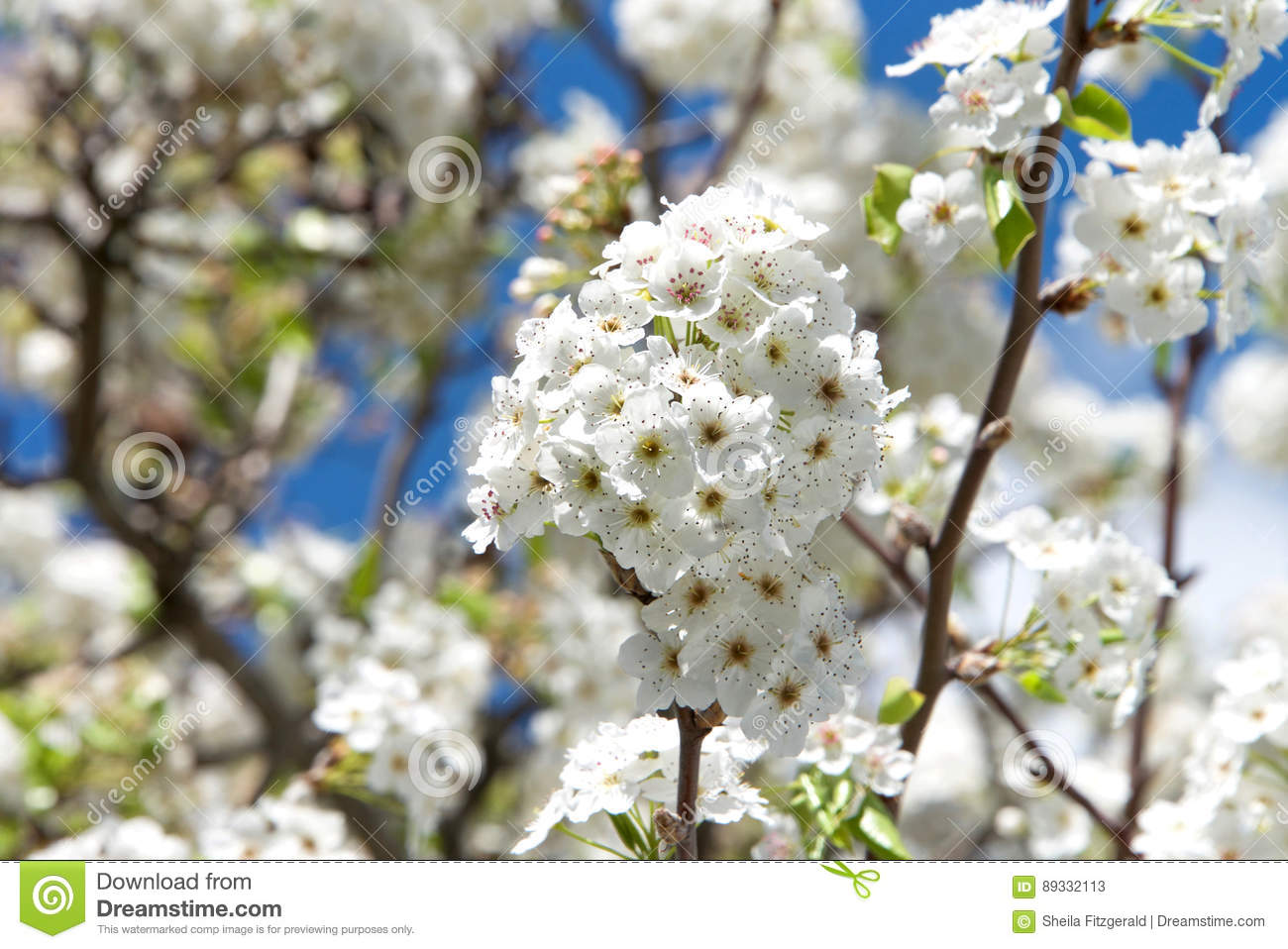 Cherry blossom flowers in cluster stock image image of color white cherry blossom tree flower clusters many of the varieties that have been cultivated for ornamental use do not produce fruit mightylinksfo