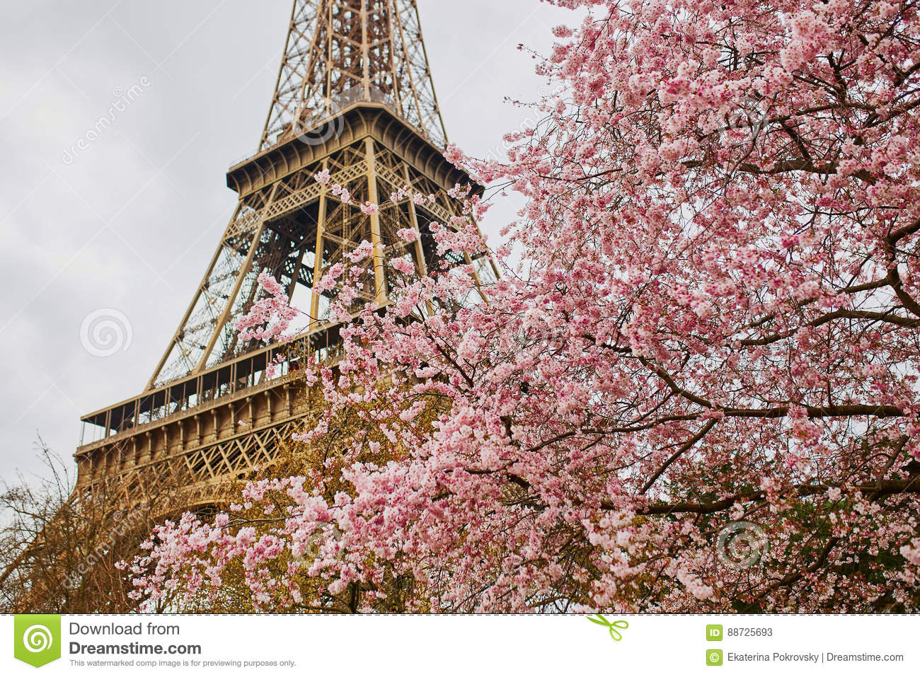 cherry blossom flowers with eiffel tower in paris stock. Black Bedroom Furniture Sets. Home Design Ideas