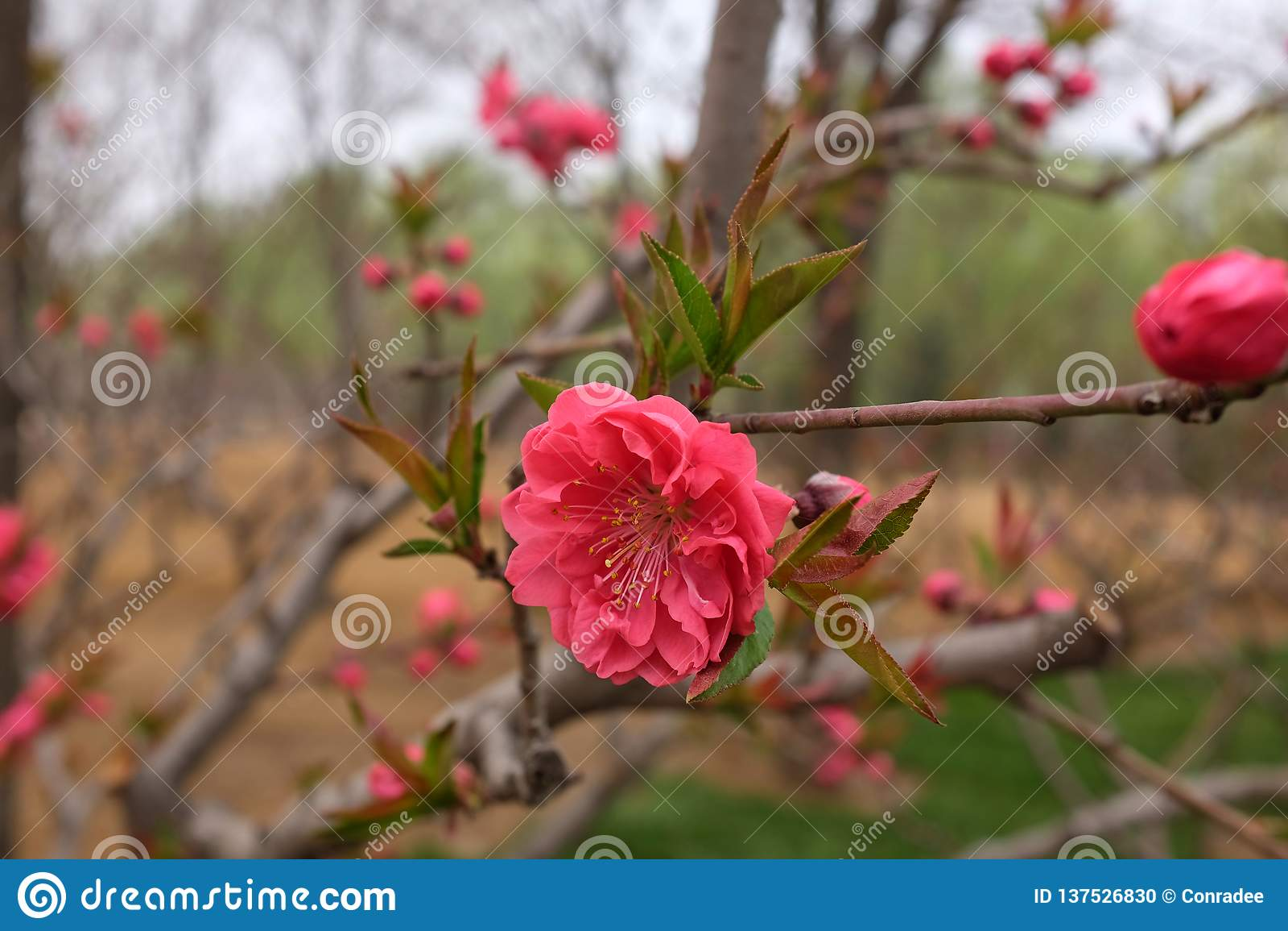 Cherry Blossom Flowers rojo hermoso en primavera