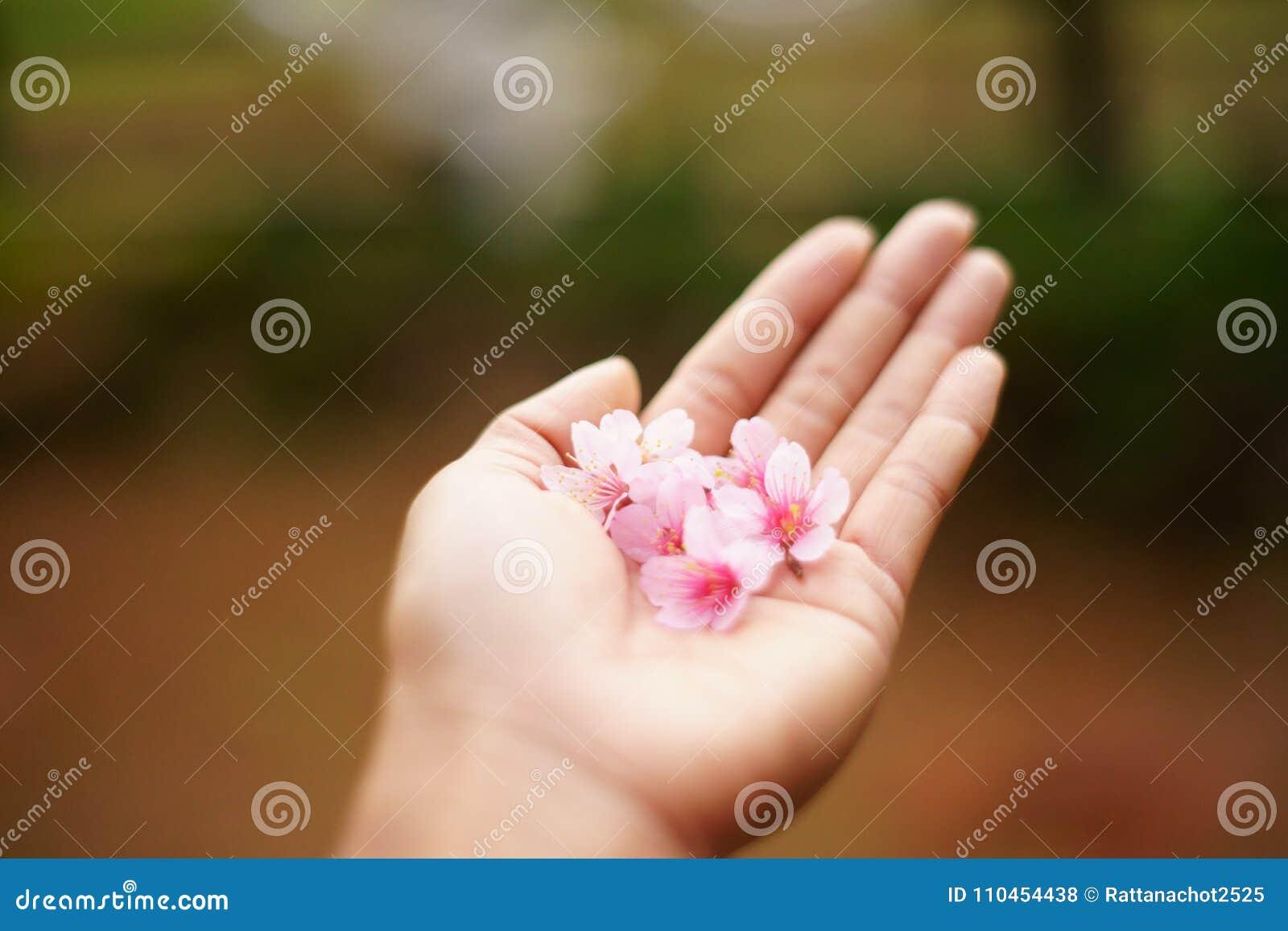 Cherry Blossom i min hand Cherry Blossom filialer och blommor