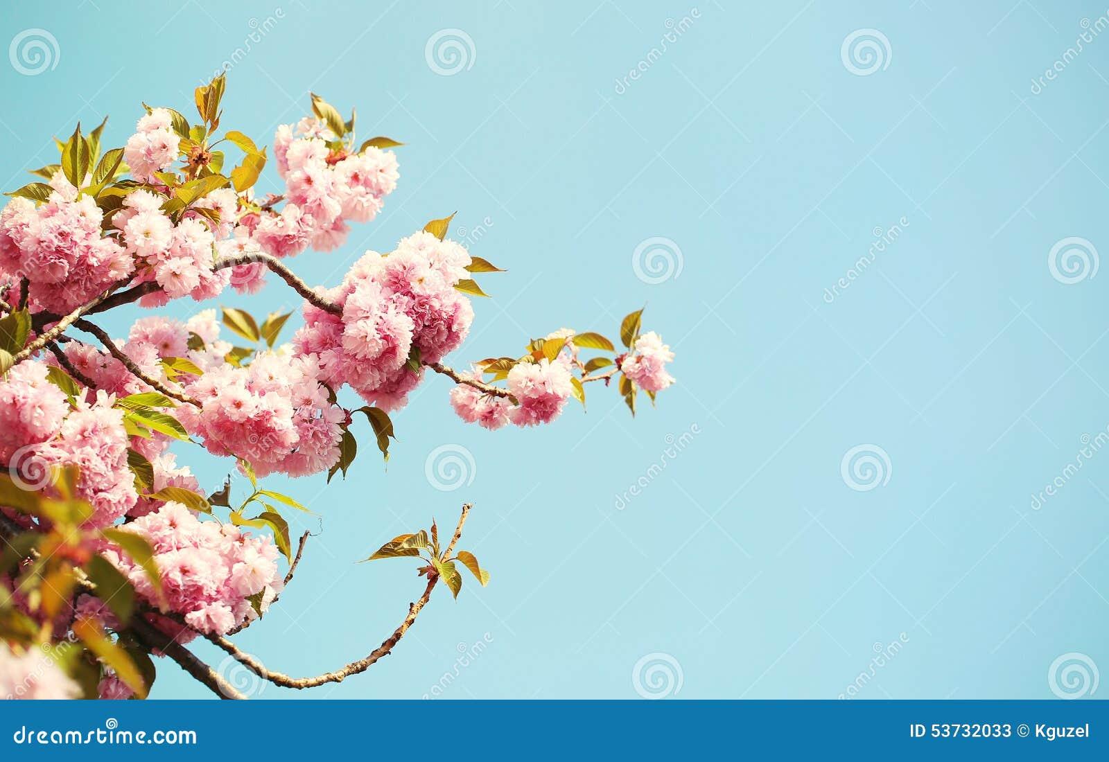 cherry blossom im fr hjahr sch ne rosa blumen stockfoto bild 53732033. Black Bedroom Furniture Sets. Home Design Ideas