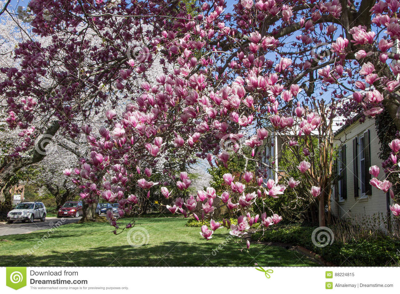 Cherry Blossom In Kenwood Md Editorial Image Image Of Build