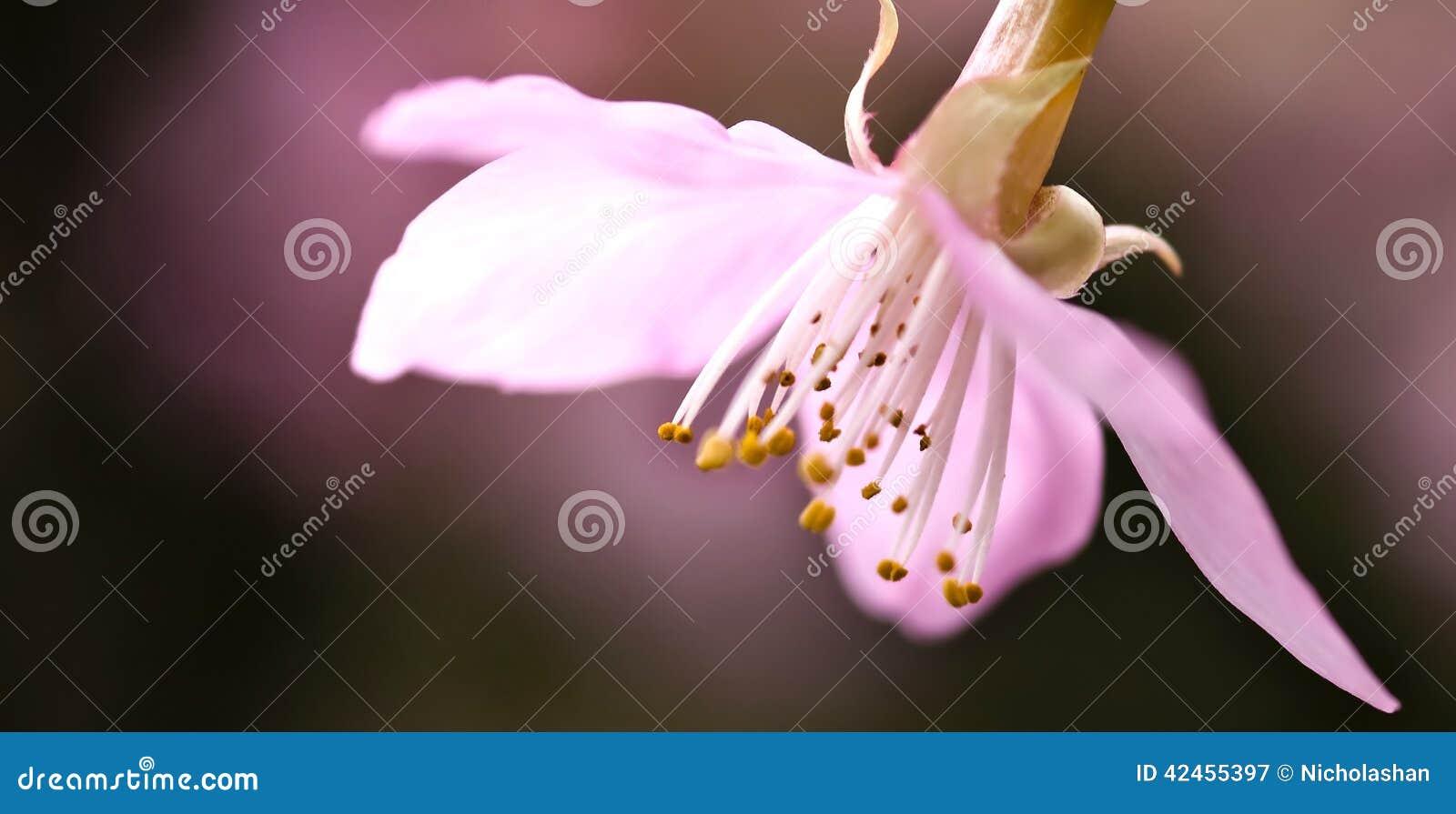 Cherry Blossom, Kirschblüte-Blumen