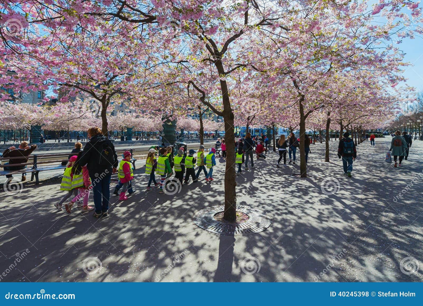 Cherry blossom in Kungstradgarden with herded children