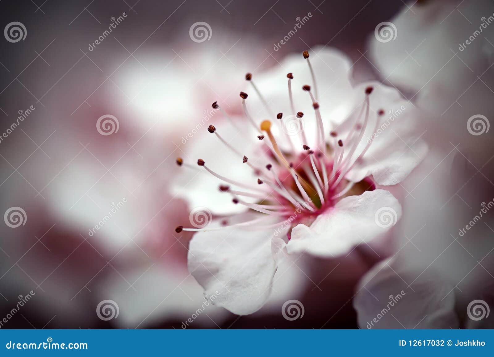 Cherry Blossom Macro I Stock Photography - Image: 12617032