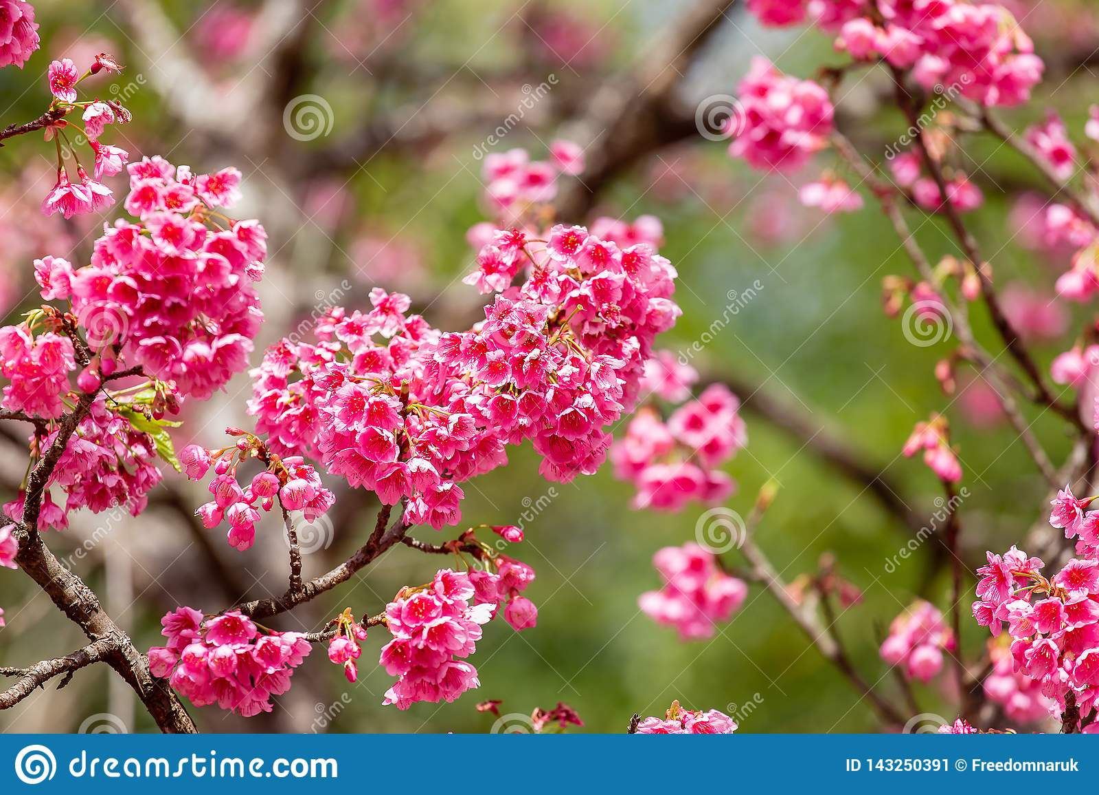 Cherry Blossom och Sakura tapet