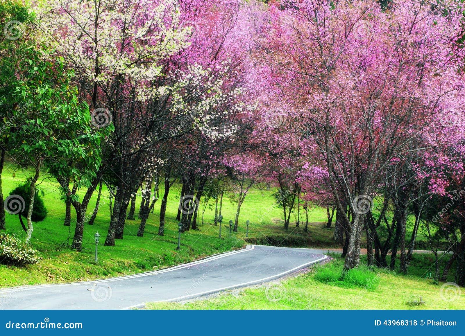 Cherry Blossom Pathway i ChiangMai