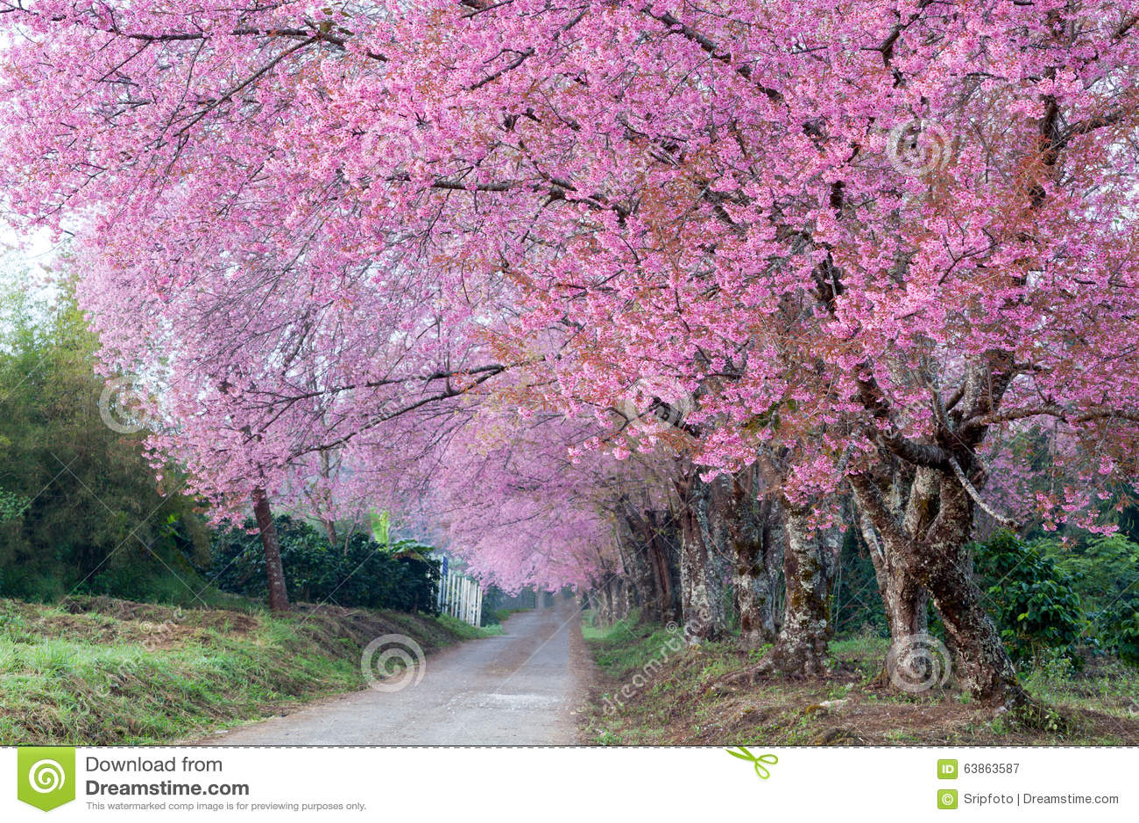 Cherry Blossom Pathway i ChiangMai, Thailand
