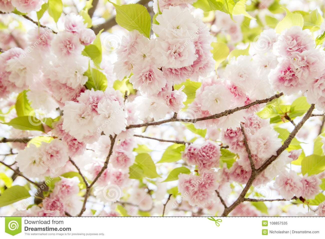 Cherry Blossom Pink Flowers In Blooming With Nice Background Stock