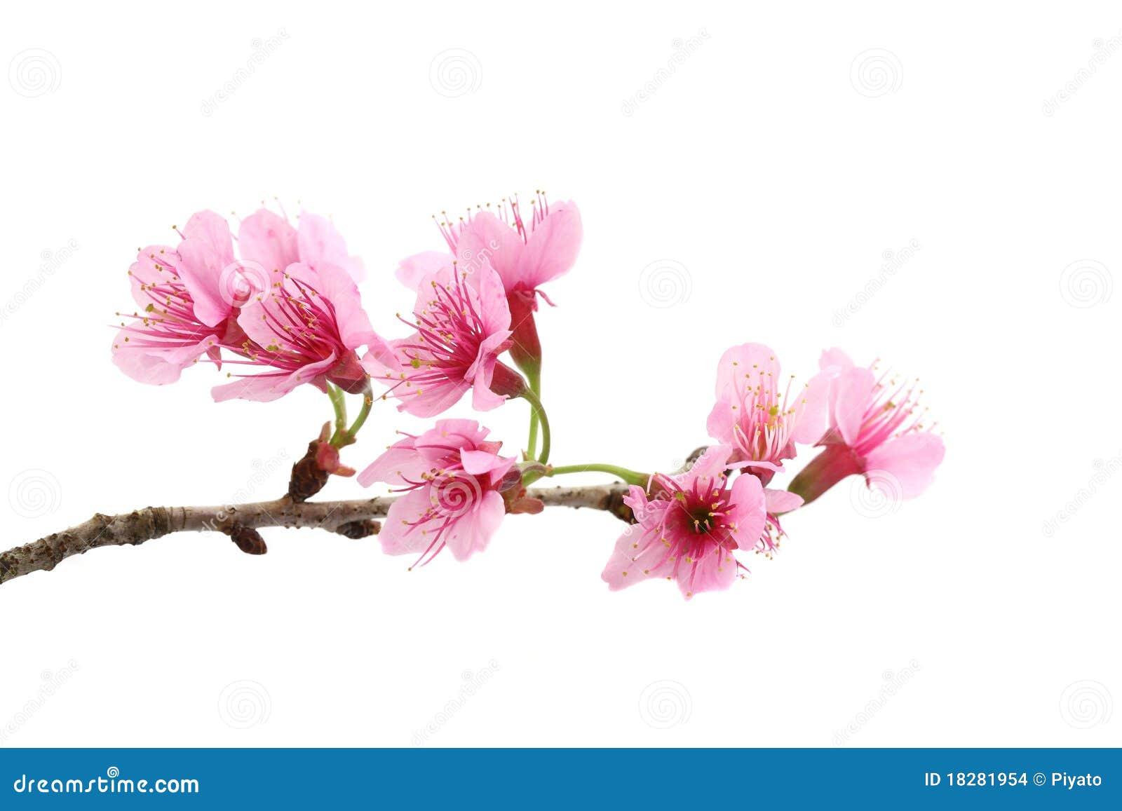 Cherry blossom pink sakura flower stock photo image of close download cherry blossom pink sakura flower stock photo image of close cherry mightylinksfo